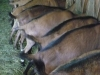 goat-butts